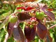 Jatropha Gossypifolia, alternative biofuel source