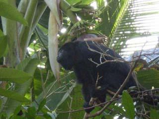 Lamanai, Belize Howler Monkey