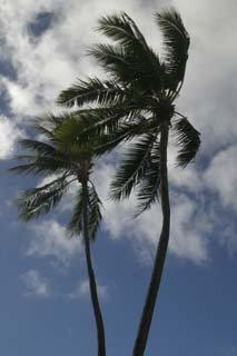 palm trees of Hawaii